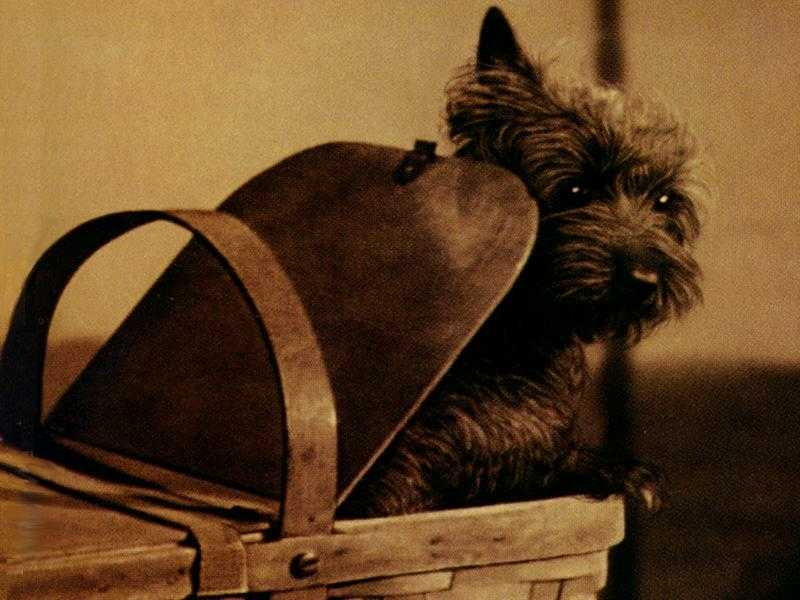 Toto looking out of Dorothy's basket from the Wizard of OZ