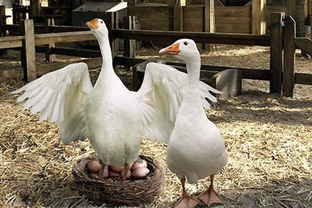 Charlotte's geese