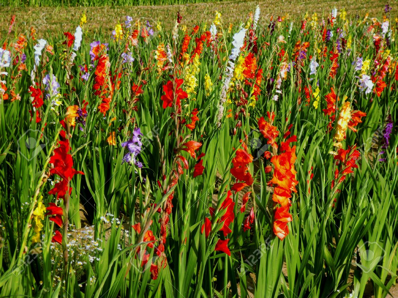 Gladiolas in field