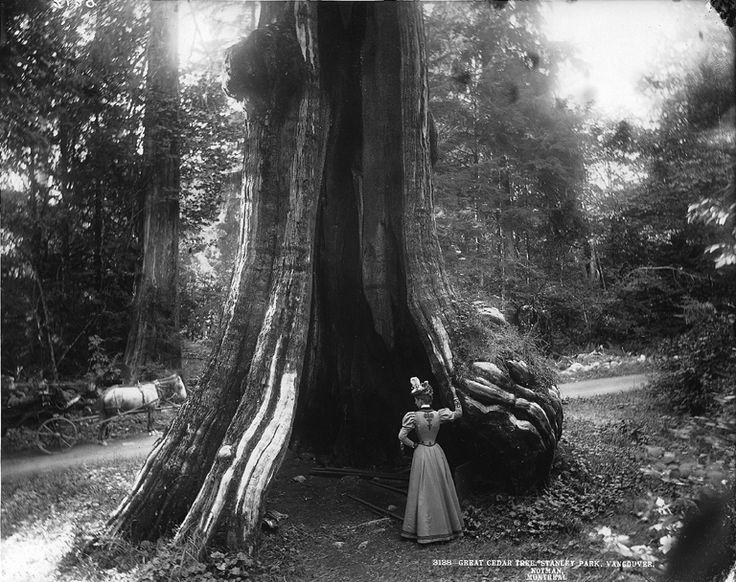 Great Cedar, Stanley Park, 1897